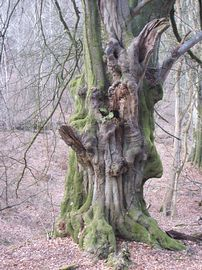 A wierd beech in the nearby Ancient Woodland