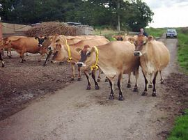 Meet our prize winning Jersey cows