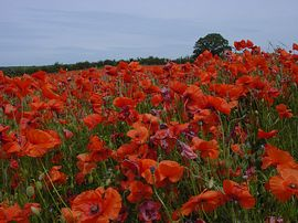 North Norfolk Poppyland